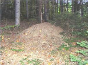 Ameisenhaufen am Grössenberg, NÖ
