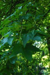 PoetzleinsdorferSchlosspark 021 173x258 - Kraftplätze & Kultbäume im Pötzleinsdorfer Schlosspark