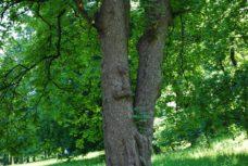 PoetzleinsdorferSchlosspark 024 228x153 - Kraftplätze & Kultbäume im Pötzleinsdorfer Schlosspark