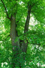 PoetzleinsdorferSchlosspark 052 159x239 - Kraftplätze & Kultbäume im Pötzleinsdorfer Schlosspark