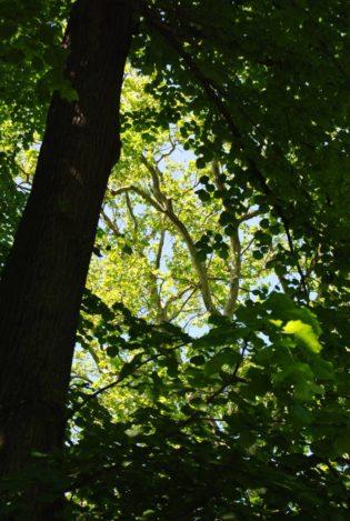 PoetzleinsdorferSchlosspark 053 315x469 - Kraftplätze & Kultbäume im Pötzleinsdorfer Schlosspark
