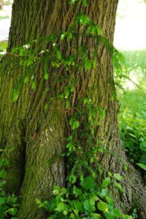 PoetzleinsdorferSchlosspark 054 214x320 - Kraftplätze & Kultbäume im Pötzleinsdorfer Schlosspark