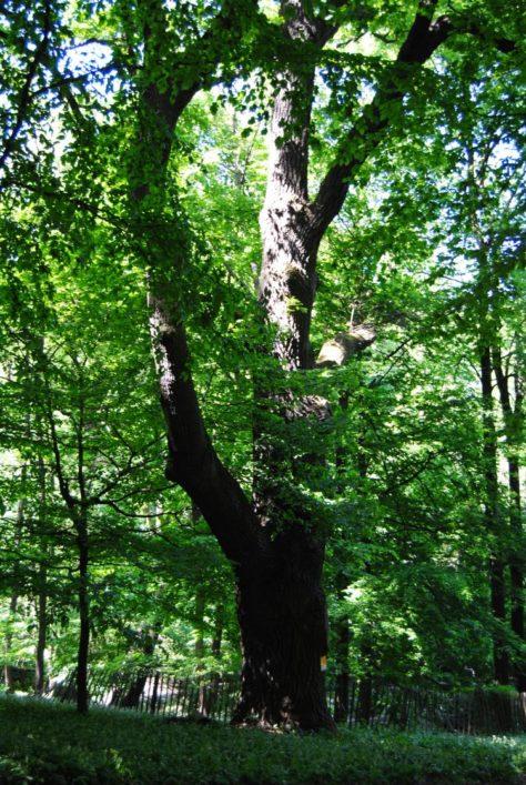 PoetzleinsdorferSchlosspark 105 474x707 - Kraftplätze & Kultbäume im Pötzleinsdorfer Schlosspark