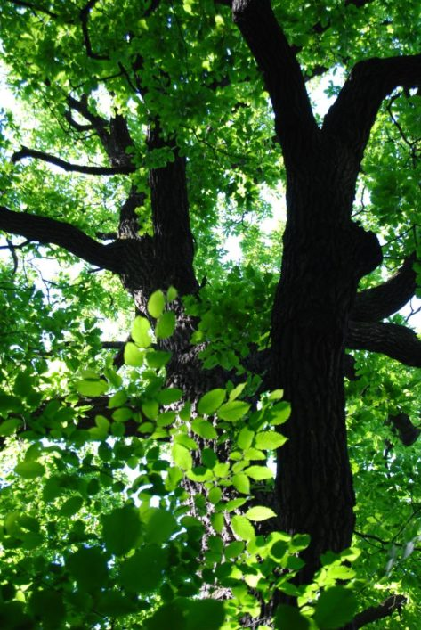 PoetzleinsdorferSchlosspark 106 473x707 - Kraftplätze & Kultbäume im Pötzleinsdorfer Schlosspark
