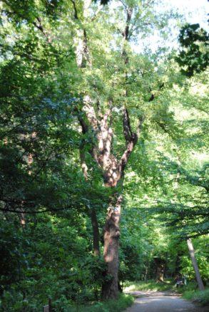PoetzleinsdorferSchlosspark 161 293x438 - Kraftplätze & Kultbäume im Pötzleinsdorfer Schlosspark