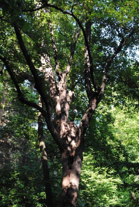 PoetzleinsdorferSchlosspark 163 474x707 - Kraftplätze & Kultbäume im Pötzleinsdorfer Schlosspark