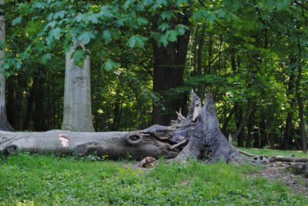 PoetzleinsdorferSchlosspark 167 433x290 - Kraftplätze & Kultbäume im Pötzleinsdorfer Schlosspark