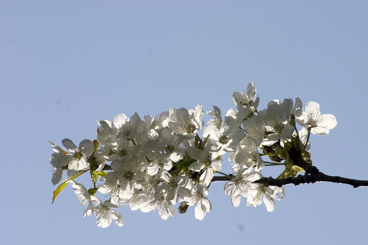 nature 107247 1280 e1386152501589 - Hlg. Barbara: Kirschblüten, Lostag und allerlei Brauchtum