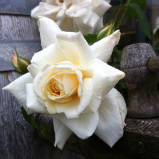 rose 202681 1280 316x316 - Mariä Himmelfahrt, die Kräuterweihe und der Frauendreißiger
