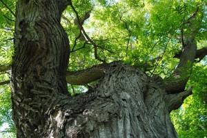 Laxenburg 110515 052 300x201 - Besondere Bäume