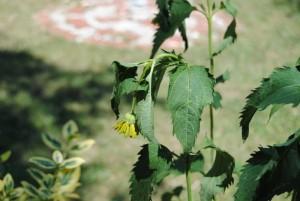 Blumen welk 300x201 - Der Juli: Heuert, bärig und sehr heiss