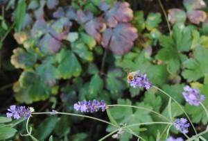 Lavendel Biene 300x203 - Der Juli: Heuert, bärig und sehr heiss