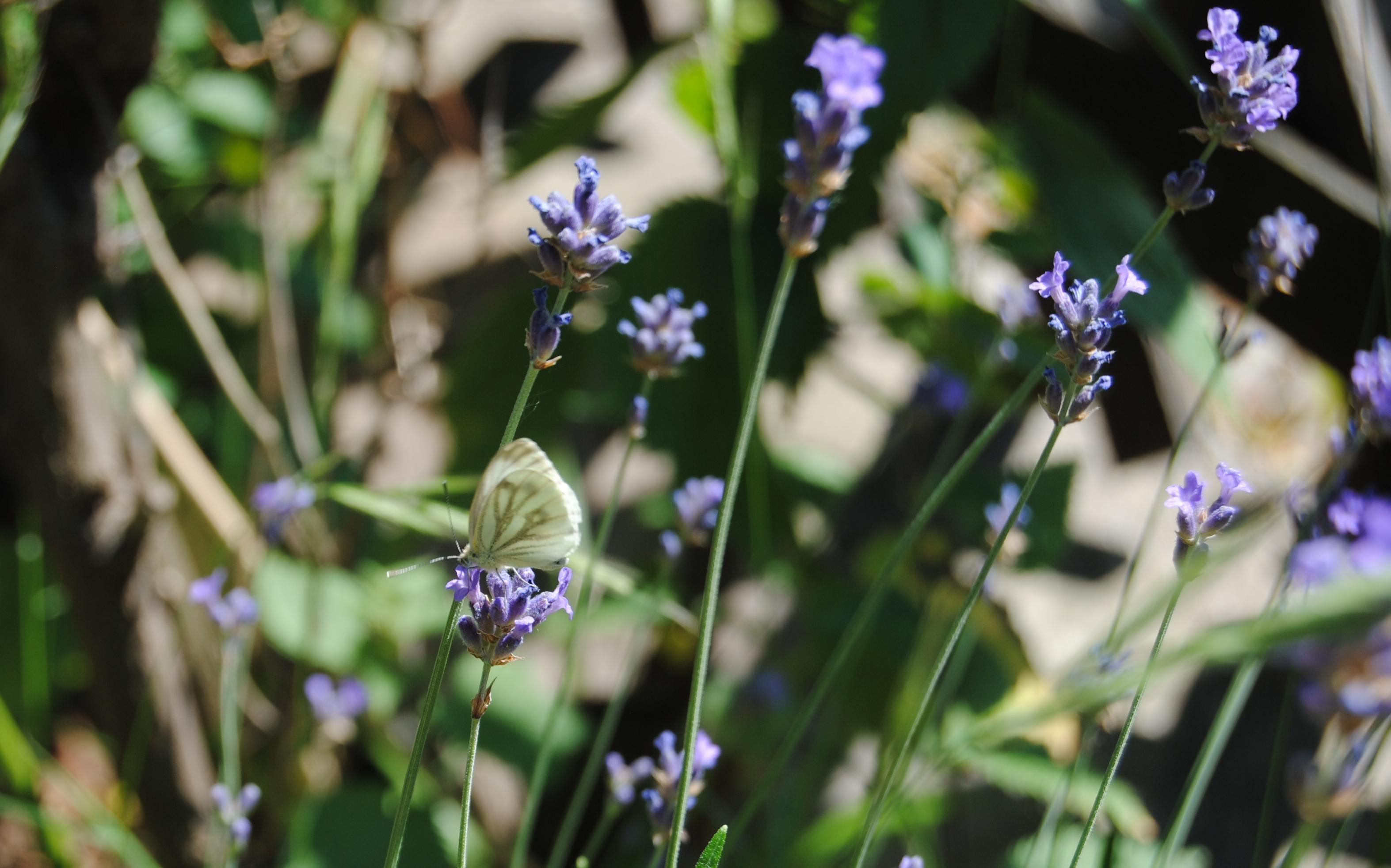 Lavendel Schmetterling - Der Juli: Heuert, bärig und sehr heiss