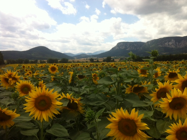 sonnenblumenfeld3 - Der August: Sichelmond, mit Sternschnuppen und Himmelfahrt