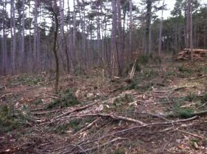 FoehrenSchlaegerungKuerassier1 300x224 - Diplodia Pinea: Das große Sterben der Föhrenwälder