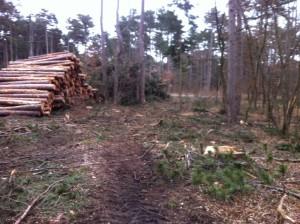 FoehrenSchlaegerungKuerassier2 300x224 - Diplodia Pinea: Das große Sterben der Föhrenwälder