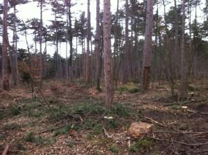 FoehrenSchlaegerungKuerassier3 300x224 - Diplodia Pinea: Das große Sterben der Föhrenwälder