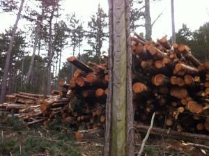 FoehrenSchlaegerungKuerassier5 300x224 - Diplodia Pinea: Das große Sterben der Föhrenwälder