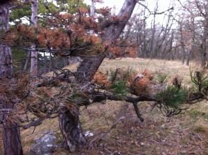 FoehrenToepferwiese3 300x224 - Diplodia Pinea: Das große Sterben der Föhrenwälder