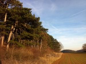 brauneFoehren1 300x224 - Diplodia Pinea: Das große Sterben der Föhrenwälder