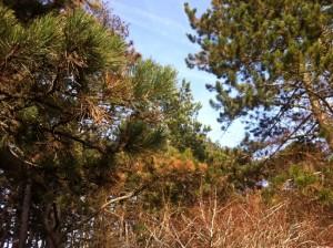 brauneFoehren3 300x224 - Diplodia Pinea: Das große Sterben der Föhrenwälder