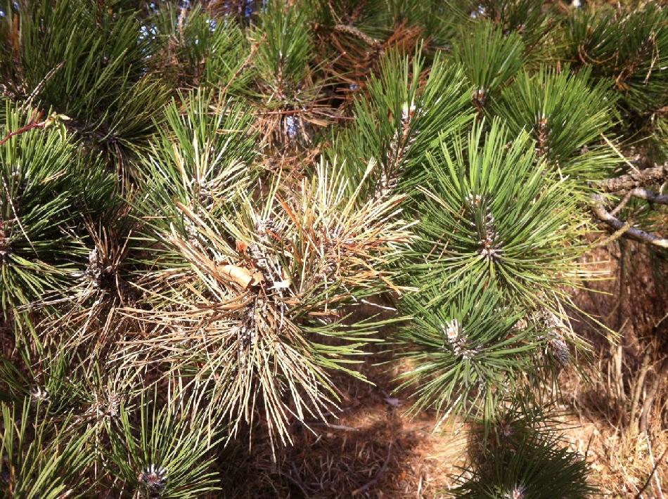 brauneFoehrennadeln - Diplodia Pinea: Das große Sterben der Föhrenwälder