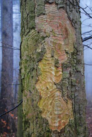 MaurerWald Dez15 010 293x438 - Der neolithische Steinbruch im Maurer Wald