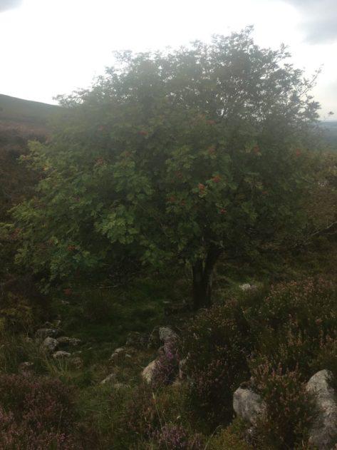 Dartmoor Montag England2018 040 473x631 - Dartmoorliebe, ein magischer Wald und Cream Tea - mit dem Käsehobel in England