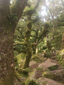Dartmoor WistmansWood England2018 034 207x276 - Dartmoorliebe, ein magischer Wald und Cream Tea - mit dem Käsehobel in England