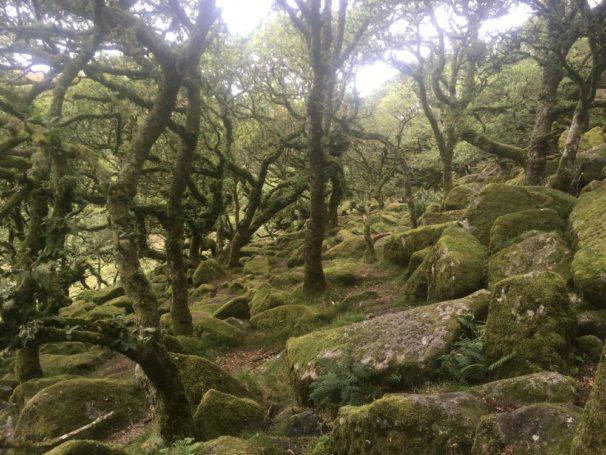 Dartmoor WistmansWood England2018 040 606x455 - Dartmoorliebe, ein magischer Wald und Cream Tea - mit dem Käsehobel in England