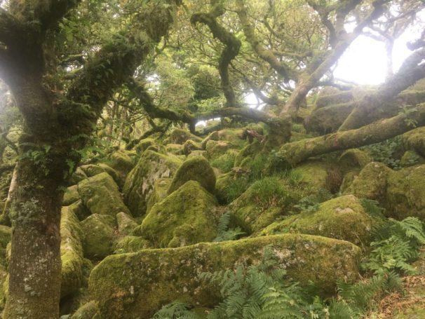 Dartmoor WistmansWood England2018 041 606x455 - Dartmoorliebe, ein magischer Wald und Cream Tea - mit dem Käsehobel in England