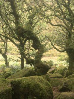 Dartmoor WistmansWood England2018 043 249x333 - Dartmoorliebe, ein magischer Wald und Cream Tea - mit dem Käsehobel in England