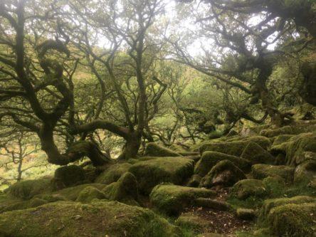 Dartmoor WistmansWood England2018 046 444x333 - Dartmoorliebe, ein magischer Wald und Cream Tea - mit dem Käsehobel in England