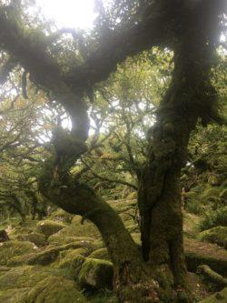 Dartmoor WistmansWood England2018 047 250x333 - Dartmoorliebe, ein magischer Wald und Cream Tea - mit dem Käsehobel in England