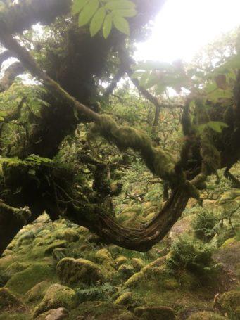 Dartmoor WistmansWood England2018 050 341x455 - Dartmoorliebe, ein magischer Wald und Cream Tea - mit dem Käsehobel in England