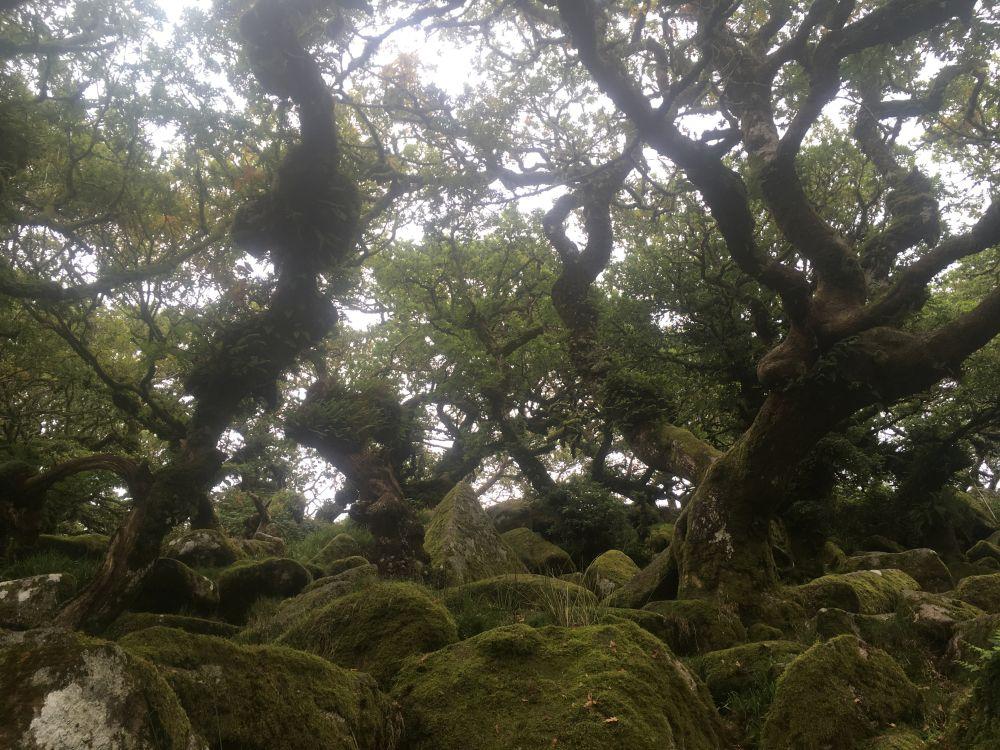 Dartmoor WistmansWood England2018 053 - Dartmoorliebe, ein magischer Wald und Cream Tea - mit dem Käsehobel in England