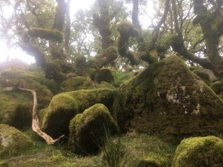 Dartmoor WistmansWood England2018 059 444x333 - Dartmoorliebe, ein magischer Wald und Cream Tea - mit dem Käsehobel in England