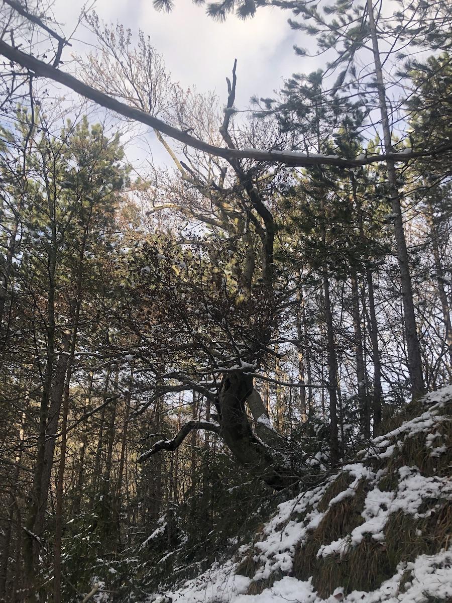 Winterbaum Pfaffenkogel sm - Rauhnachtsbekenntnis zu Lichtmess: Ich wünsche mir den Ehrgeiz eines Baumes