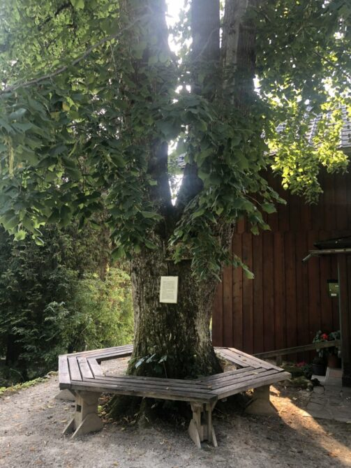 Alpengarten Bad Aussee 2021 004 503x670 - Der Ausseer Alpengarten