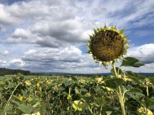 Sonnenblumenfeld sm 300x225 - Der Jahreskreis