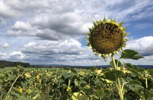 Sonnenblumenfeld sm 500x330 - Brauchen wir heutzutage noch Jahreskreisfeste?