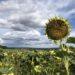 Sonnenblumenfeld sm 75x75 - Der Ausseer Alpengarten